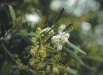 Algodón del olivo