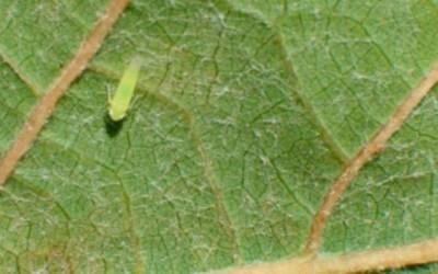 Mosquito verde almendro
