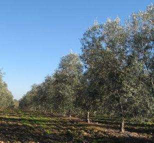 olivo hojiblanca