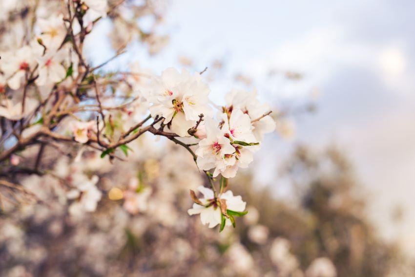Abonado del almendro: consejos para su cultivo