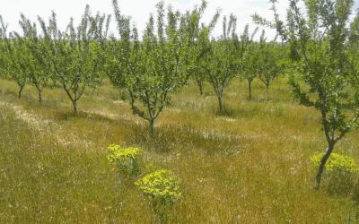 El Almendro Ecológico: Condiciones Ideales y Cuidado