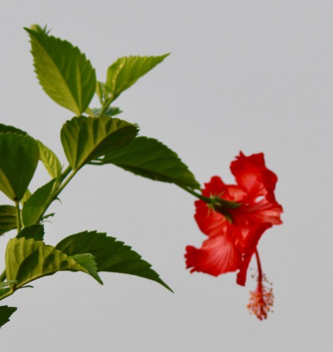 Bright red hibiscus makes a stark contrast with its equally bright green leaves