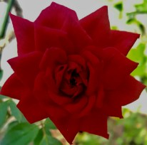 A red, red rose (from our farm)