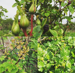 roses,gooseberries and blackcurrants