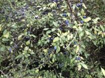 Schlehdorn / Blackthorn / Prunellier