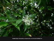 Chionanthus-compactus