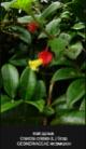 Crantzia-cristata