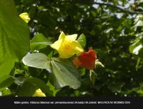 Hibiscus-tiliaceus-var-pernambucensis