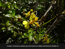 Trichocentrum-cebolleta