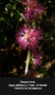 Zygia-latifolia