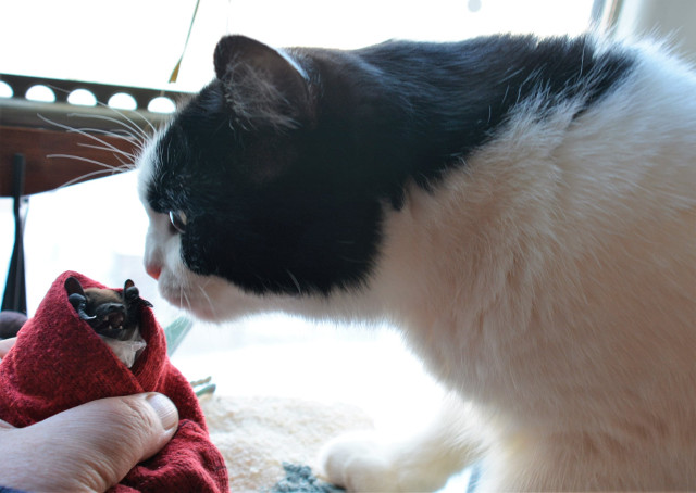 кішка врятувала кажана