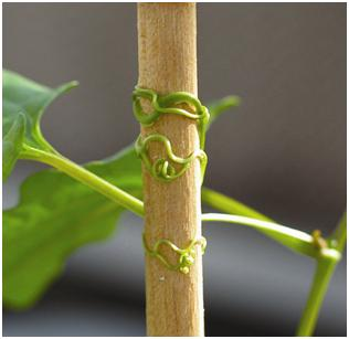 Stem tendril showing Thigmotropism