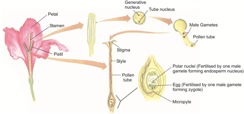 Sexual reproduction in angiosperms explained