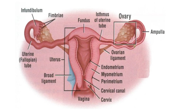 Female Reproductive Organ2