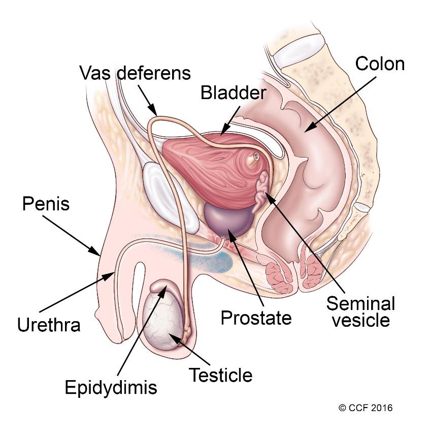Male Reproductive Organ3