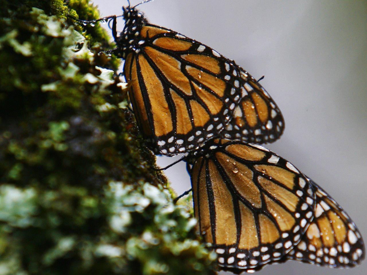Monarch Butterfly Numbers Soar Higher