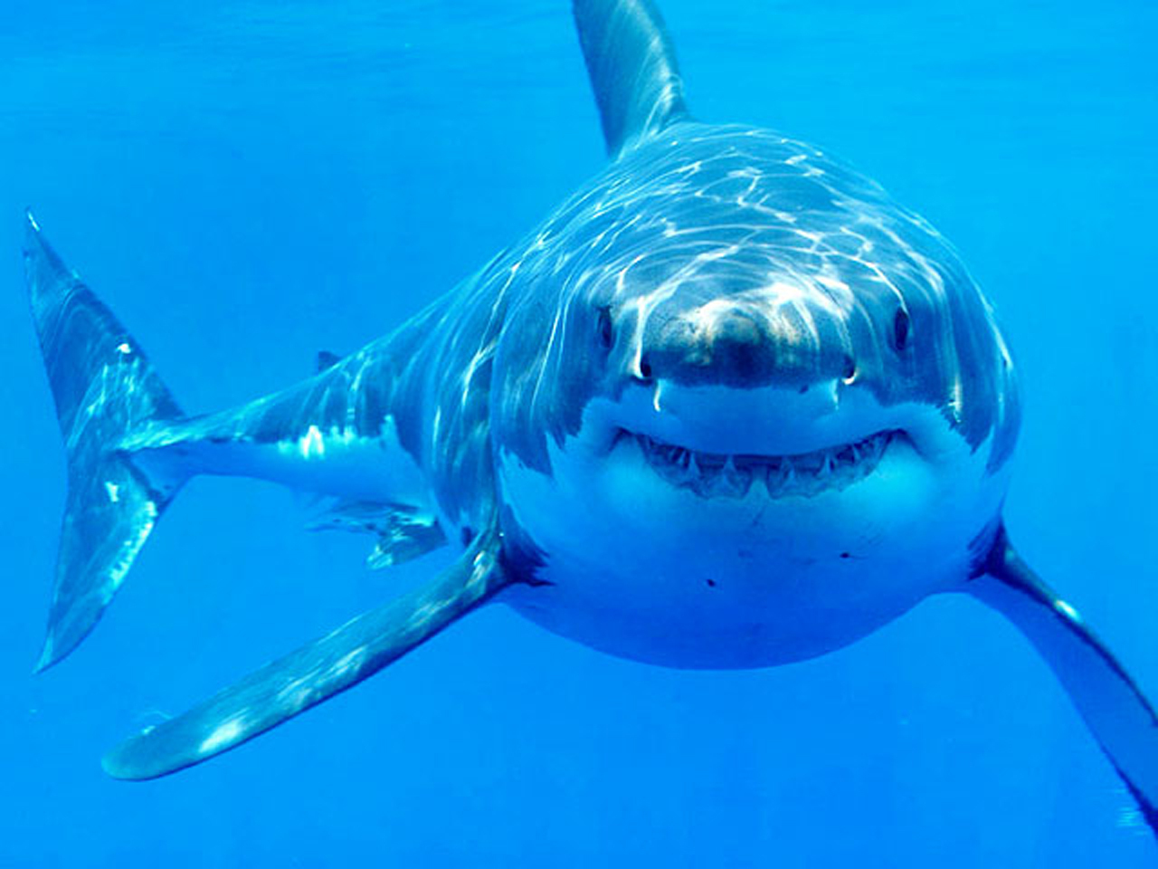 Where Did Great White Sharks Come From