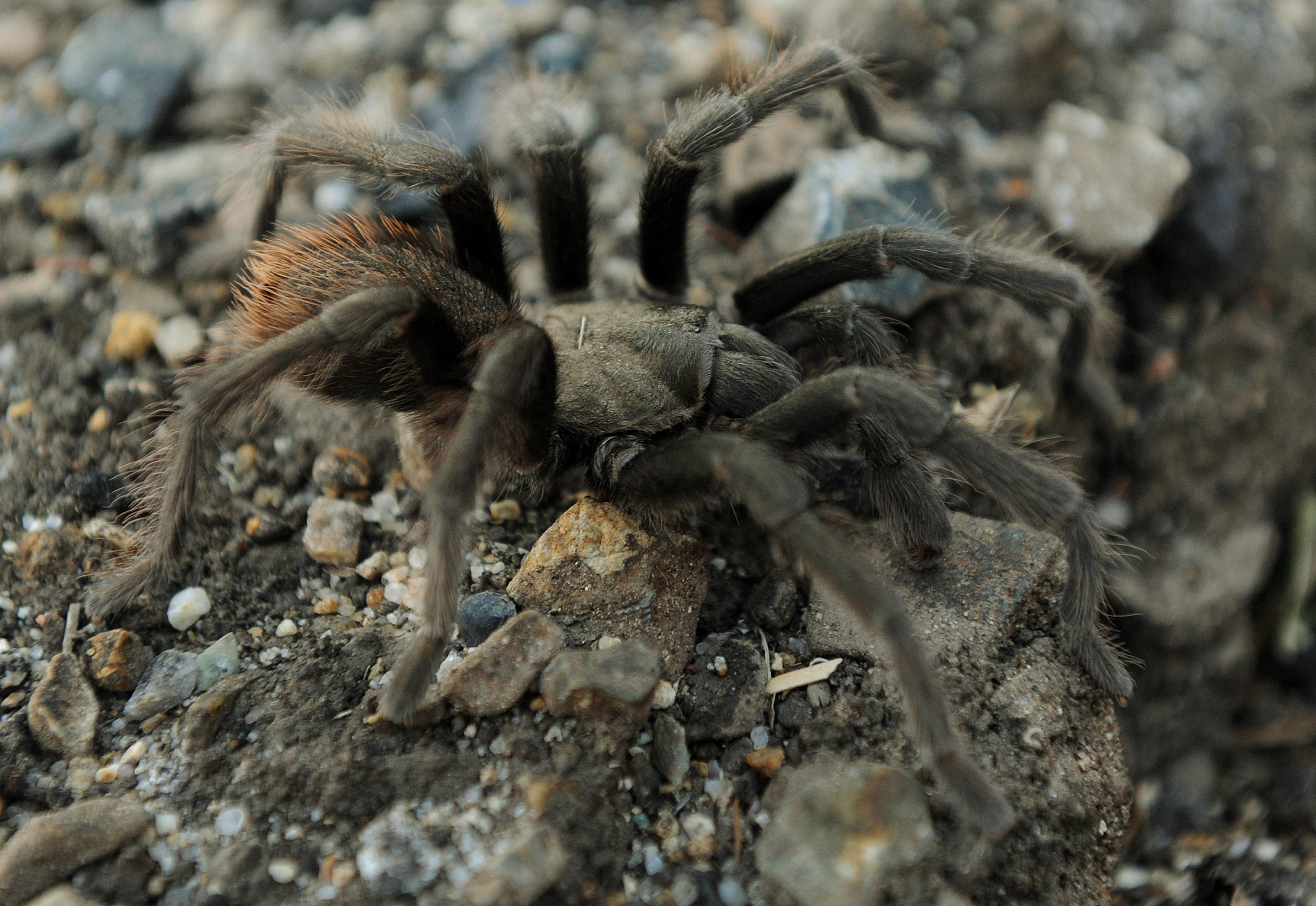Types Poisonous Spiders Los Angeles