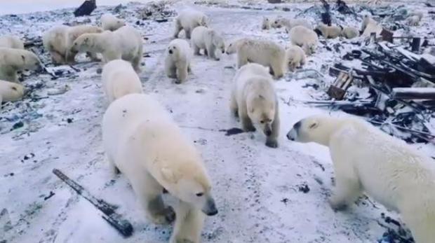 novaya-zemlya-russia-polar-bears.jpg