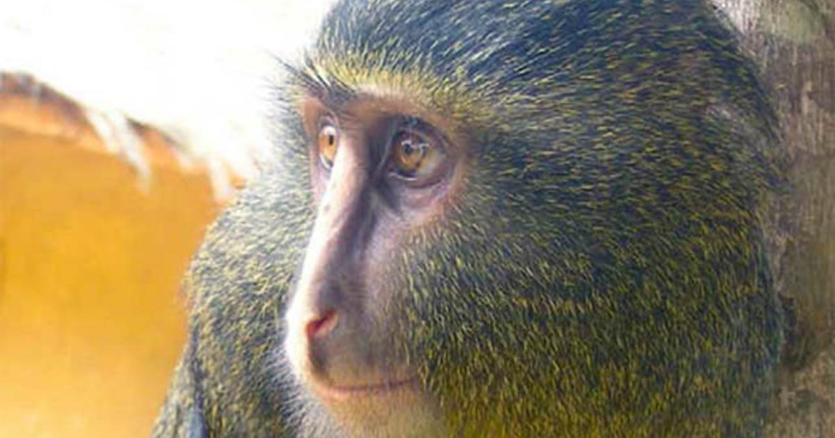 Shy Colorful New Monkey Species Discovered CBS News