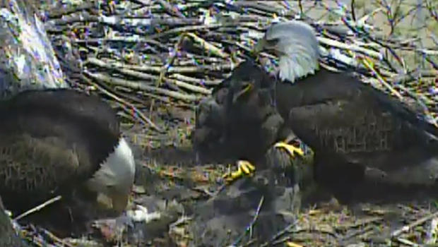 My Sister Watches This Eagle Cam Constantly It Is Live Footage Of An 39 S Nest Located In Northern Michigan While Watching One Day She Noticed A