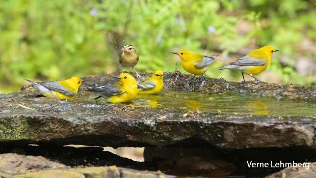 prothonotary-warblers-and-worm-eating-warbler-verne-lehmberg-620.jpg