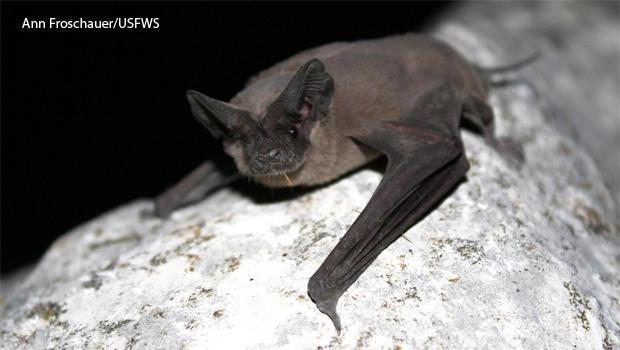 mexican-free-tailed-bat-ann-froschauer-usfws-620.jpg