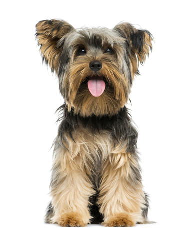 Top 10 Dog Breeds Top Dog Breeds In The US Pictures