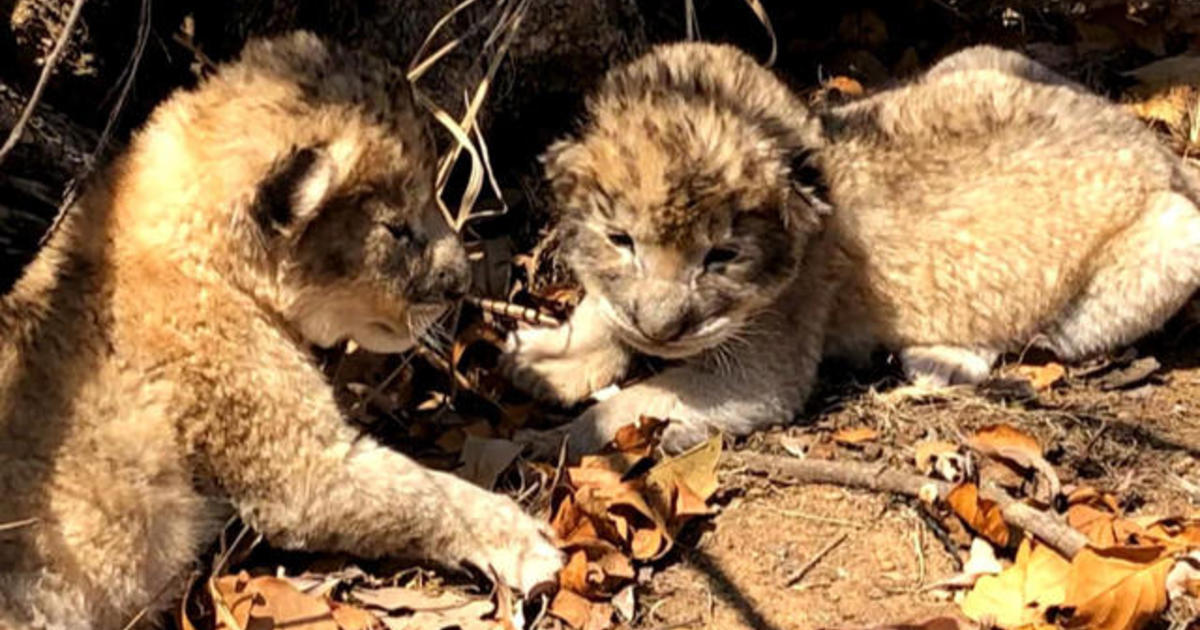 Lion Cubs Conceived Through Artificial Insemination For