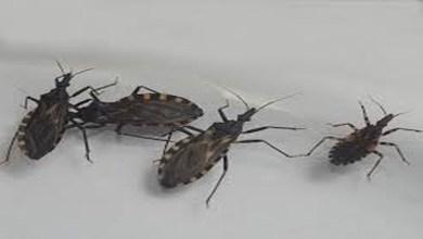 Este insecto puede poner tu vida en riesgo