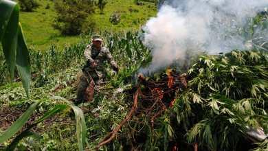 Ejército Mexicano asegura 17 plantíos de marihuana en Tzitzio