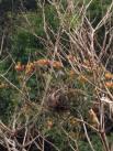 Cigana no ninho (camuflada)