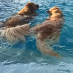 dog at dog pool in Manheim, PA