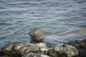 Monk Seal coming out of the water