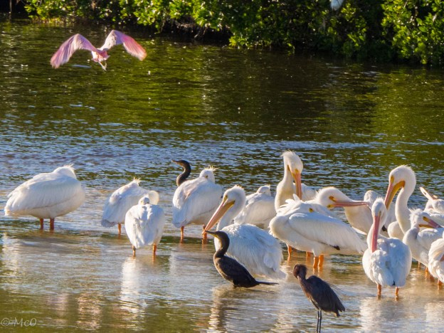Roseate Spoonbill coming in for landing