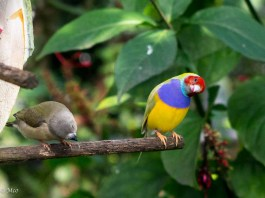 Lady Gouldian Finch (her and him)