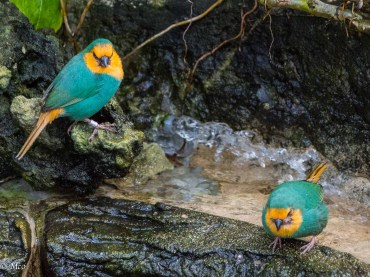 Sea Green Parrot Finches