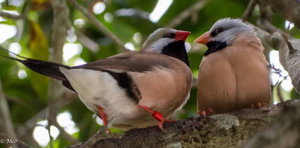 Shafttail Finches, Australia