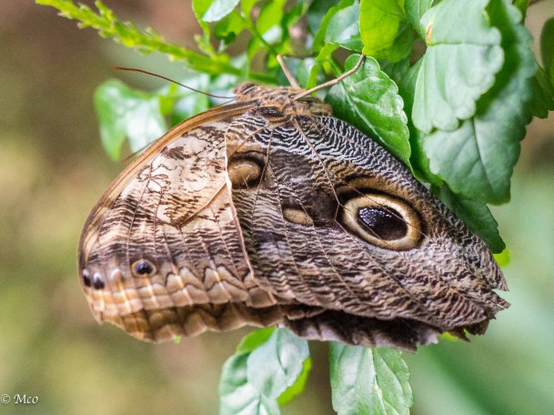 Owl Butterfly, disguised as a snake!