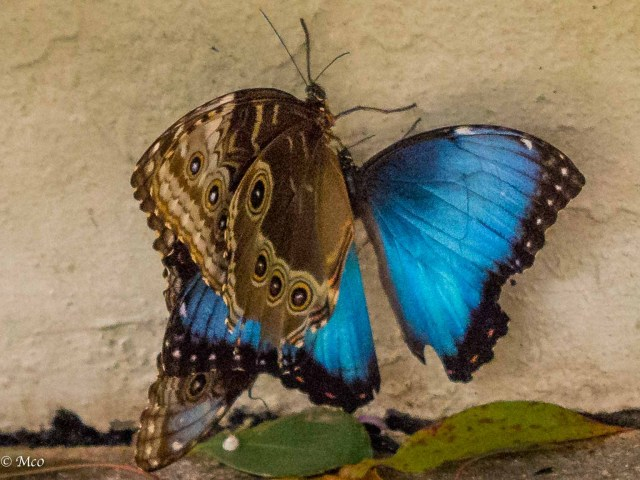 Magnificent Blue Morpho mating here.