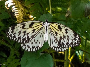 Magnificent white Tree Nymph