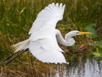 Snowy Egret taking off
