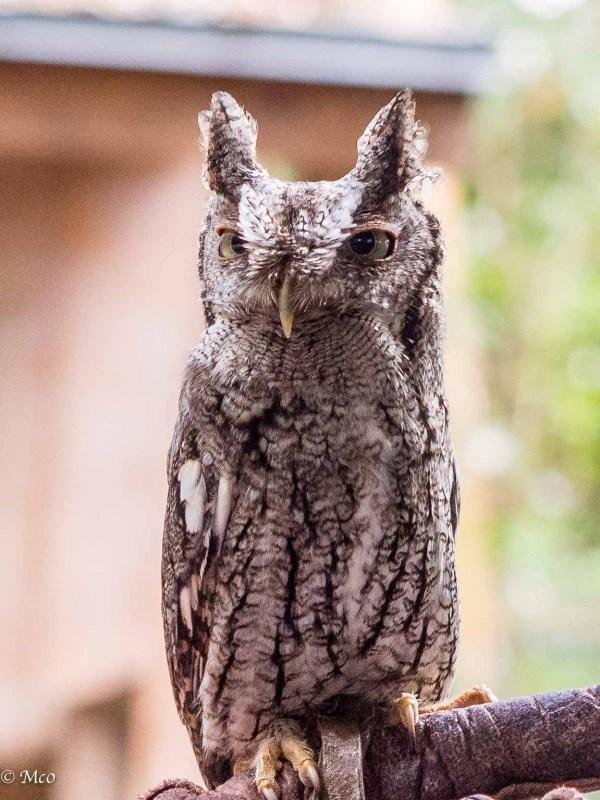 Eastern Screech Owl (tiny)