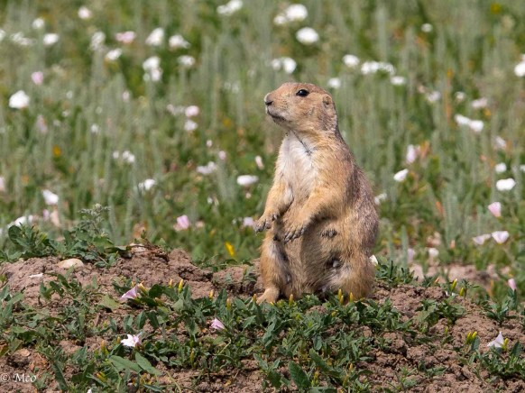 Prairie Dog on alert