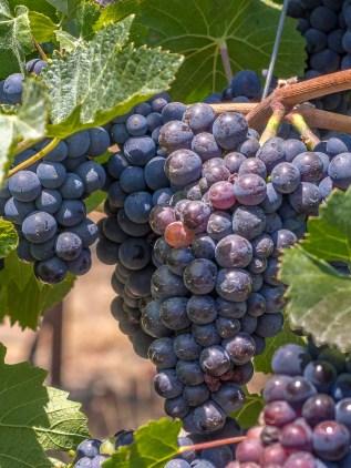 Future Petite Sirah Wine