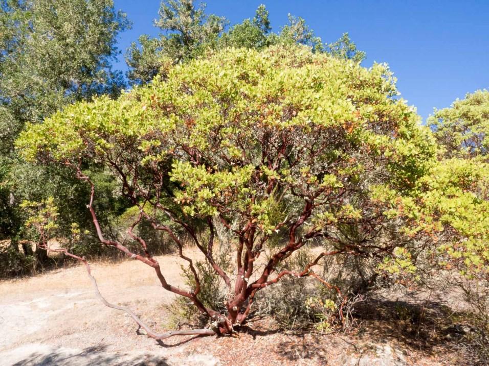 Red bark, Manzanita Bush