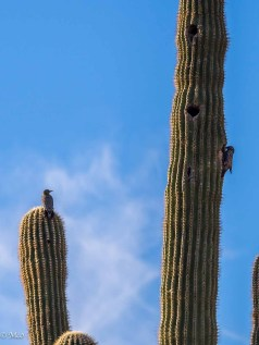 Gila Woodpeckers at home on Cactus