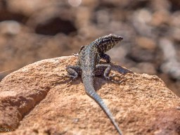 One of many types of lizards found in AZ