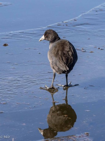 Coot on the ice
