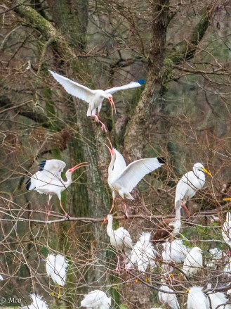 Territory Squabble between Egrets and Ibis at Rip's Rookery